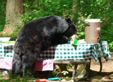 black-bear-dining-out_NPS